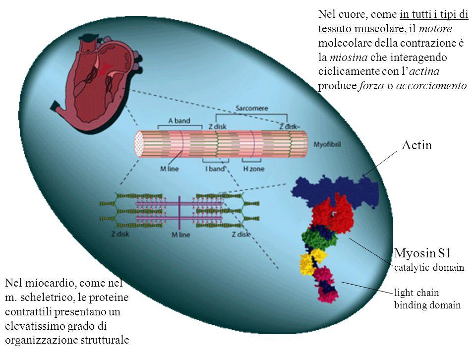 Nel cuore, come in tutti i tipi di tessuto muscolare, il motore molecolare della contrazione è la miosina che interagendo ciclicamente con l'actina produce forza o accorciamento