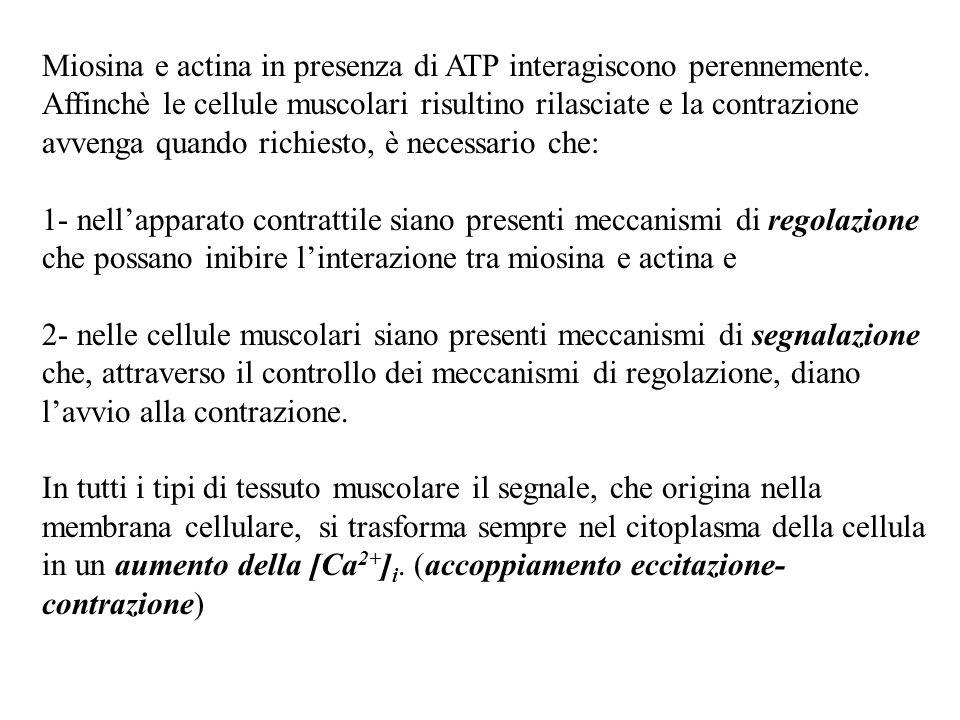 Miosina e actina in presenza di ATP interagiscono perennemente