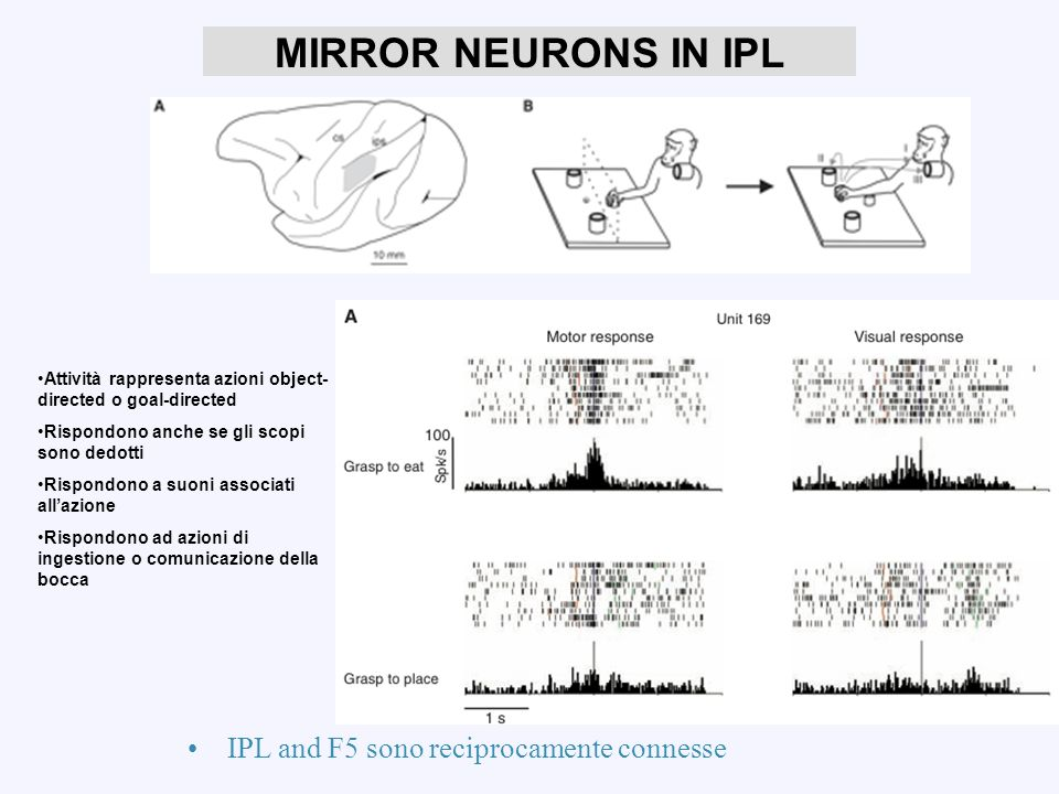 MIRROR NEURONS IN IPL IPL and F5 sono reciprocamente connesse