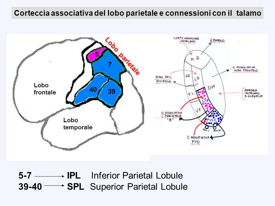 5-7 IPL Inferior Parietal Lobule 39-40 SPL Superior Parietal Lobule