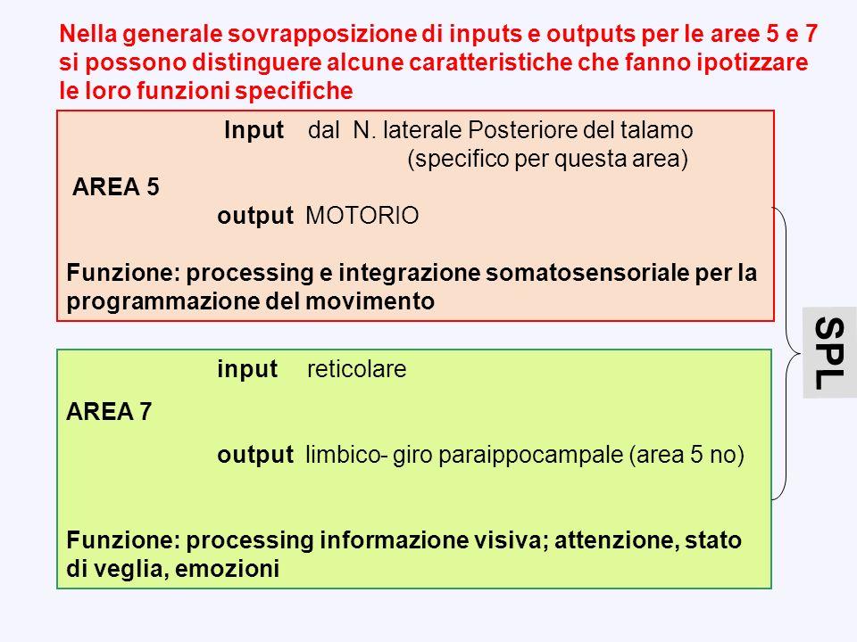 Nella generale sovrapposizione di inputs e outputs per le aree 5 e 7 si possono distinguere alcune caratteristiche che fanno ipotizzare le loro funzioni specifiche