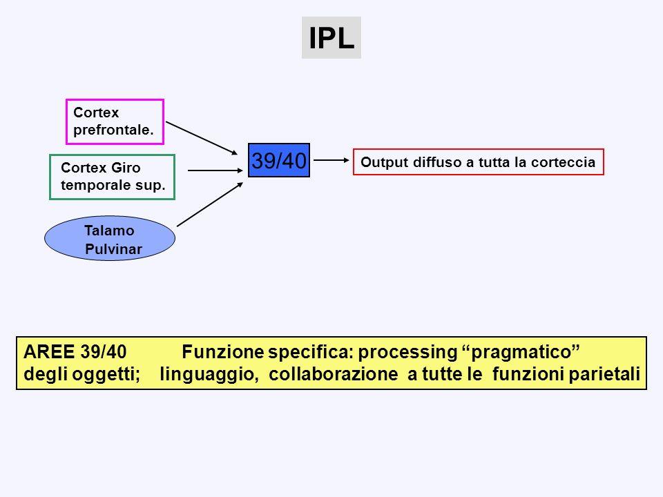 IPL Cortex. prefrontale. 39/40. Output diffuso a tutta la corteccia. Cortex Giro. temporale sup.