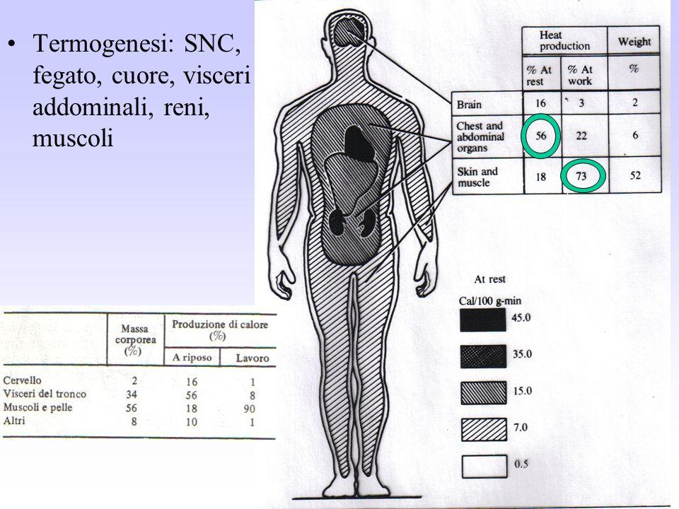 Termogenesi: SNC, fegato, cuore, visceri addominali, reni, muscoli