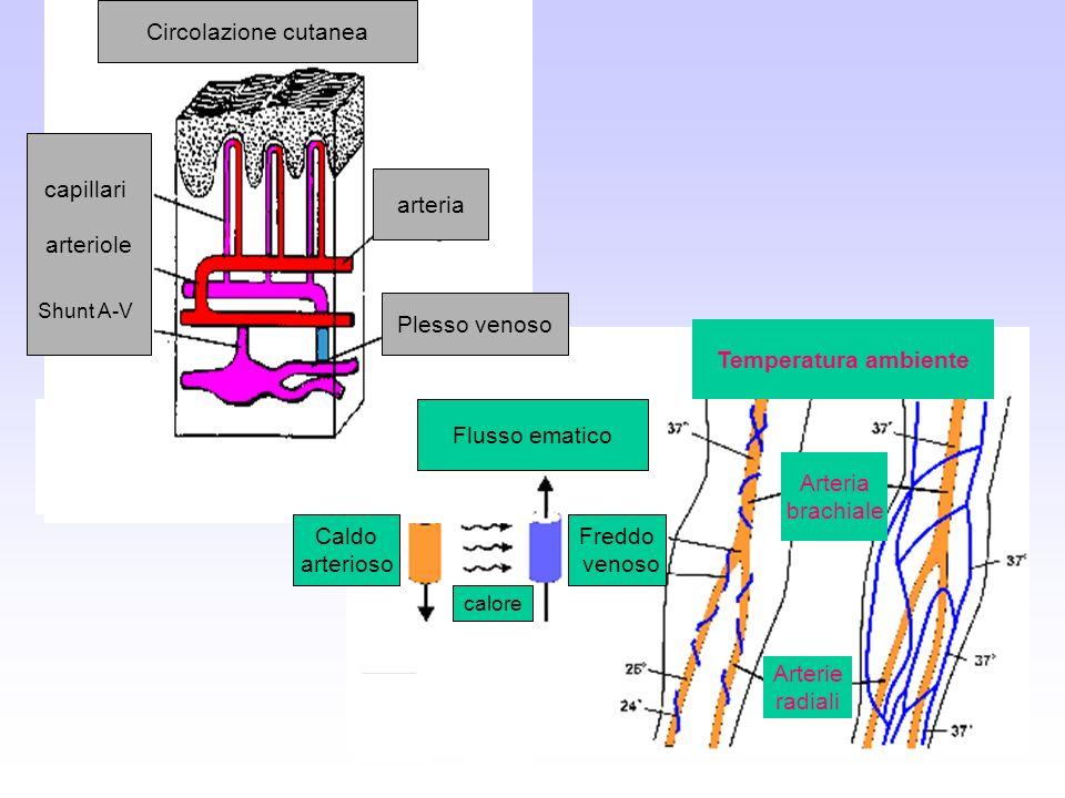 Circolazione cutanea arteriole capillari arteria Plesso venoso