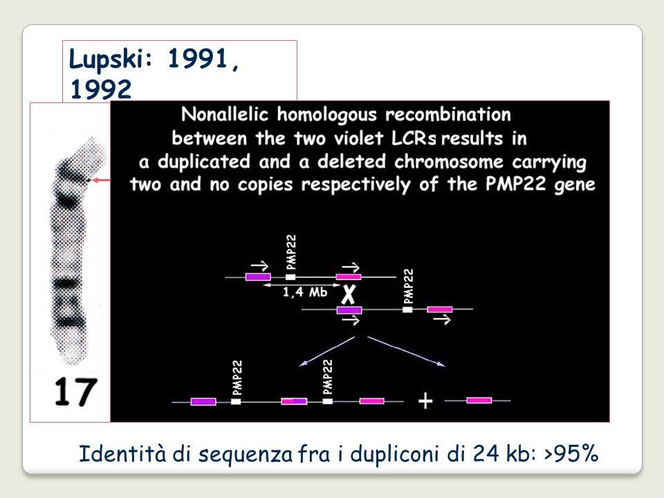 Lupski: 1991, 1992 Identità di sequenza fra i dupliconi di 24 kb: >95%