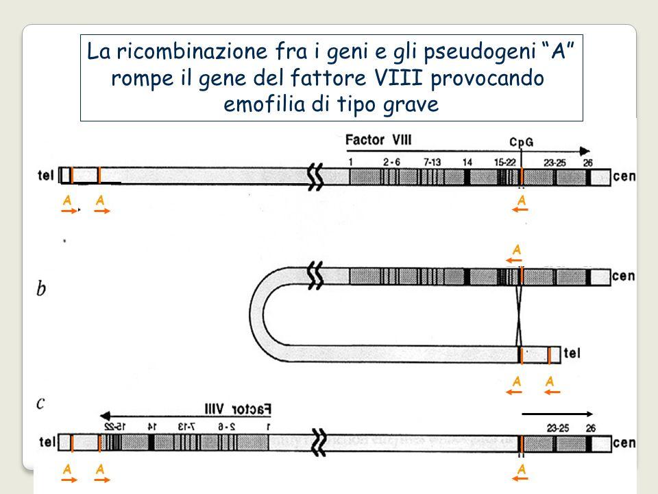 La ricombinazione fra i geni e gli pseudogeni A