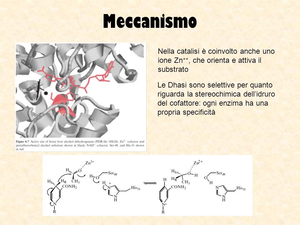Meccanismo Nella catalisi è coinvolto anche uno ione Zn++, che orienta e attiva il substrato.