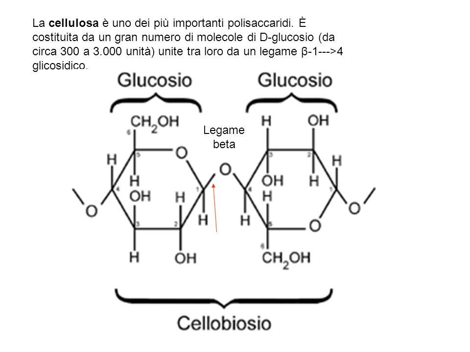 La cellulosa è uno dei più importanti polisaccaridi