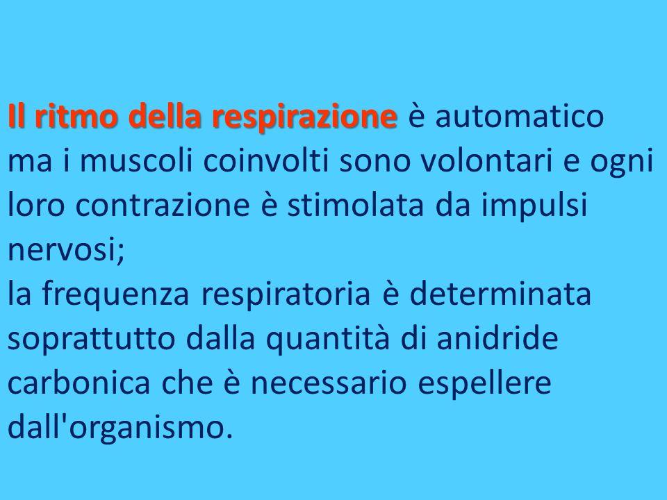 Il ritmo della respirazione è automatico ma i muscoli coinvolti sono volontari e ogni loro contrazione è stimolata da impulsi nervosi;