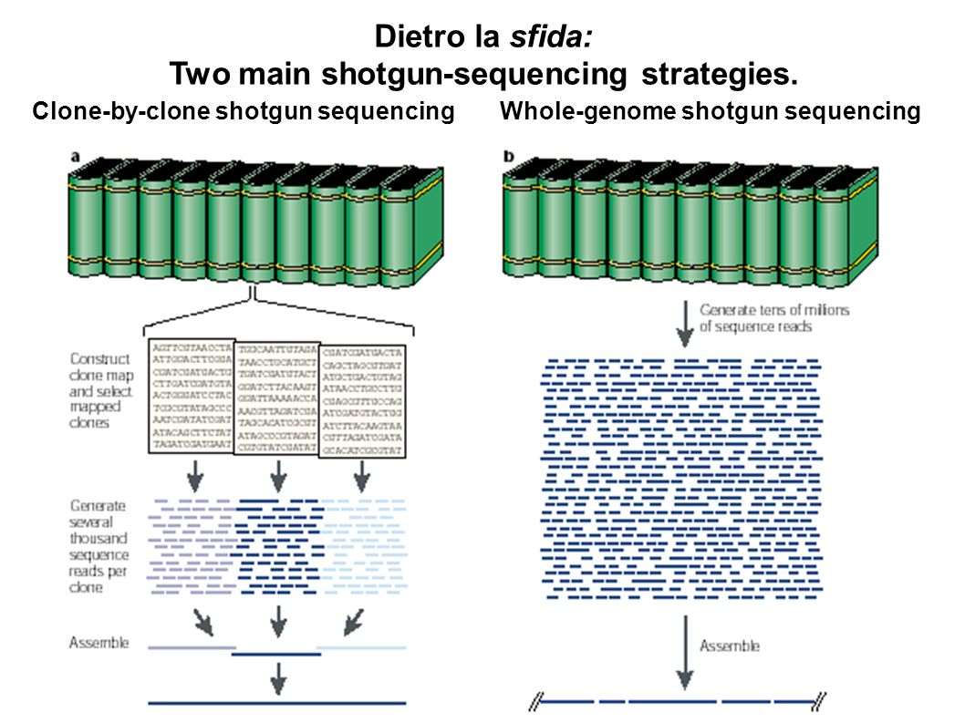 Two main shotgun-sequencing strategies.