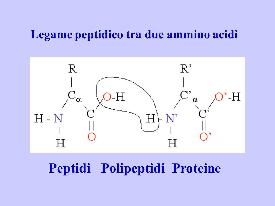 Peptidi Polipeptidi Proteine