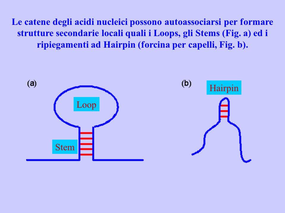 Le catene degli acidi nucleici possono autoassociarsi per formare strutture secondarie locali quali i Loops, gli Stems (Fig. a) ed i ripiegamenti ad Hairpin (forcina per capelli, Fig. b).