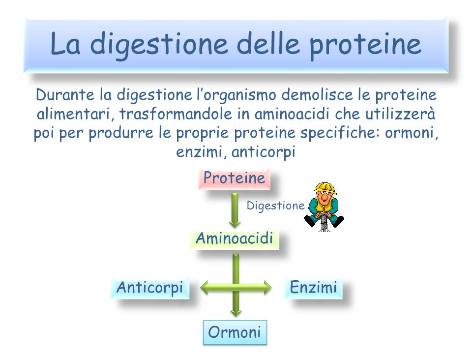 La digestione delle proteine