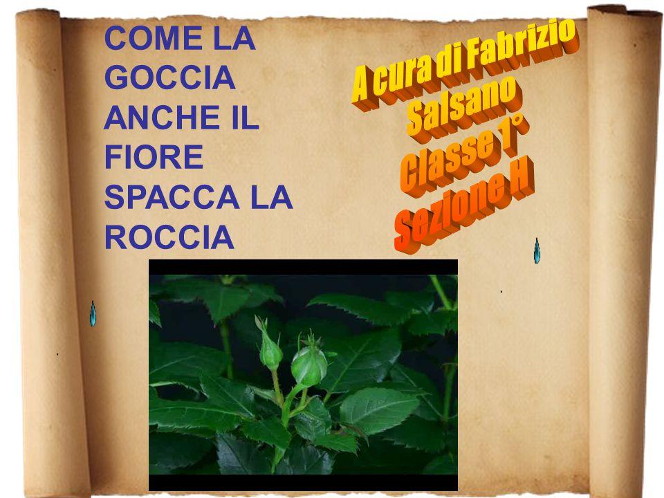 COME LA GOCCIA ANCHE IL FIORE SPACCA LA ROCCIA A cura di Fabrizio Salsano Classe 1° Sezione H