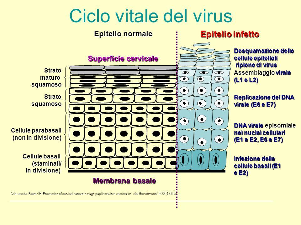 Ciclo vitale del virus Epitelio infetto  Epitelio normale