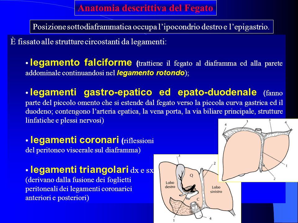 Anatomia descrittiva del Fegato