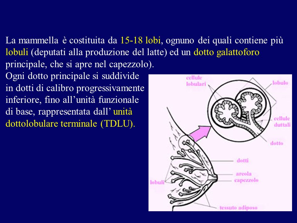 La mammella è costituita da 15-18 lobi, ognuno dei quali contiene più lobuli (deputati alla produzione del latte) ed un dotto galattoforo principale, che si apre nel capezzolo).