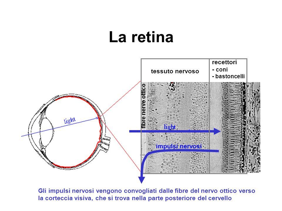 La retina recettori - coni - bastoncelli tessuto nervoso
