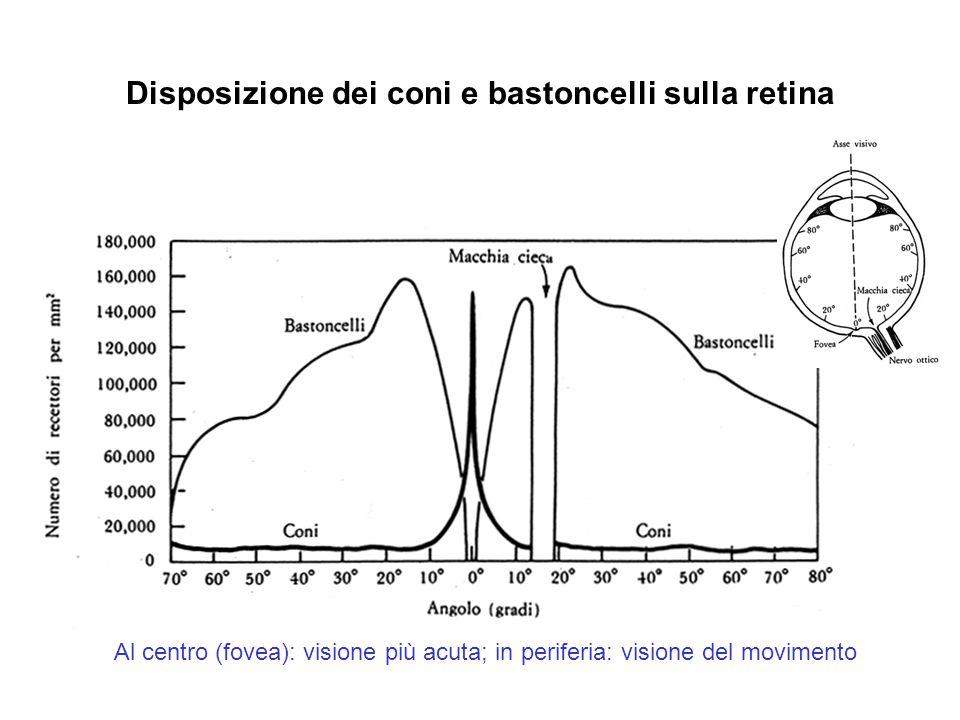 Disposizione dei coni e bastoncelli sulla retina