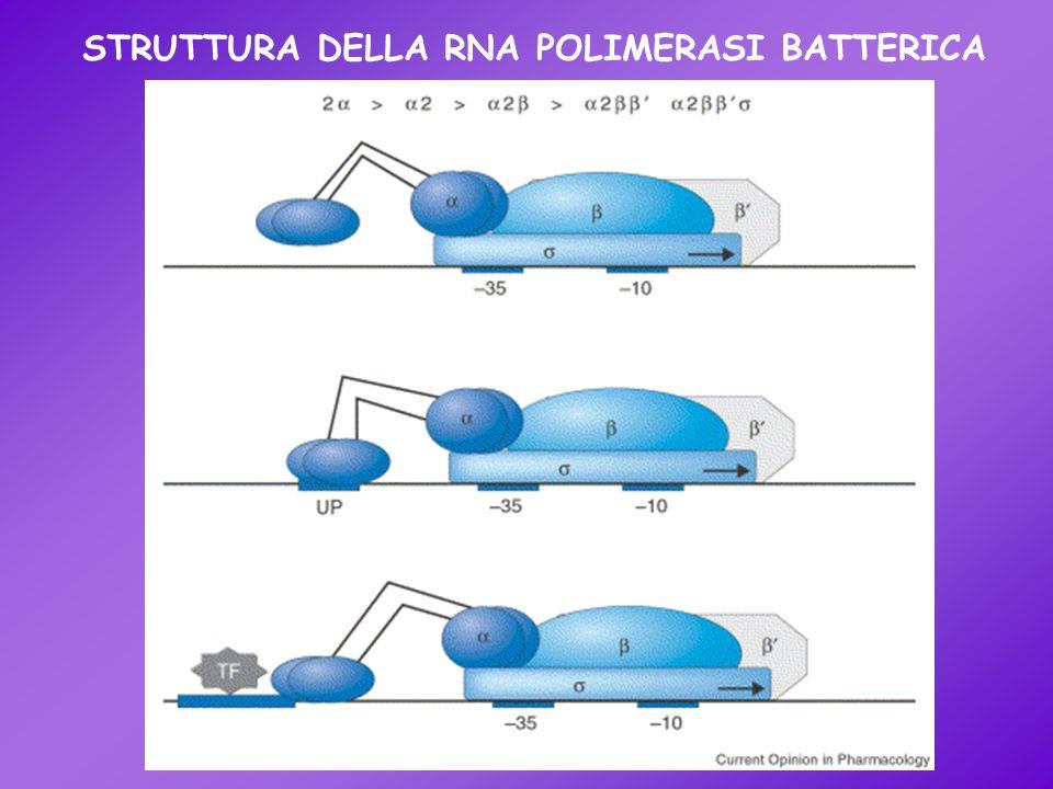 STRUTTURA DELLA RNA POLIMERASI BATTERICA