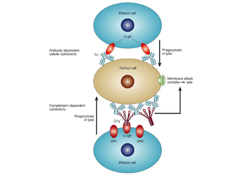 Antibody effector functions