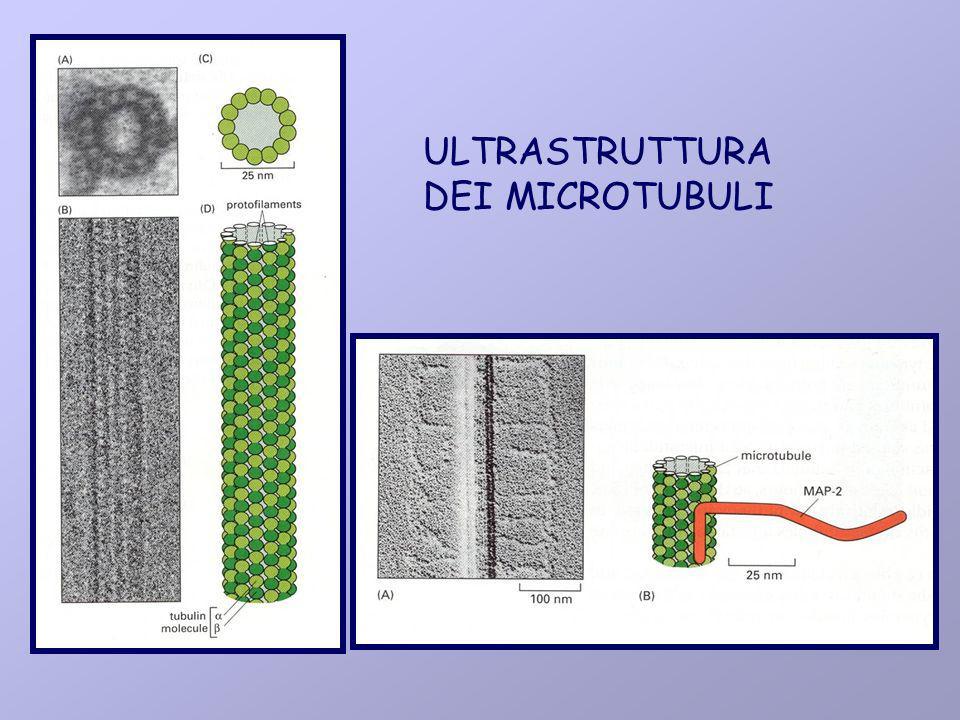 ULTRASTRUTTURA DEI MICROTUBULI
