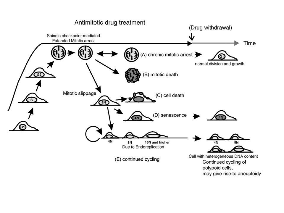 Figure 1. Five possible outcomes of antimitotic drug treatment at the cellular level, derived from cultured cell studies. Outcome A, chronic mitotic arrest (the double-headed arrow indicates that this outcome may give rise to