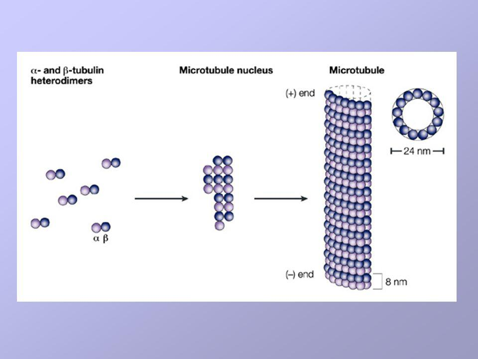 Heterdimers of - and -tubulin assemble to form a short microtubule nucleus.