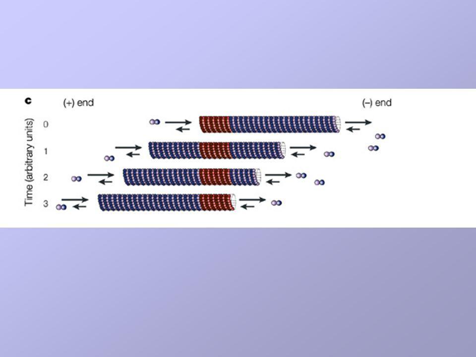 c | Treadmilling microtubule