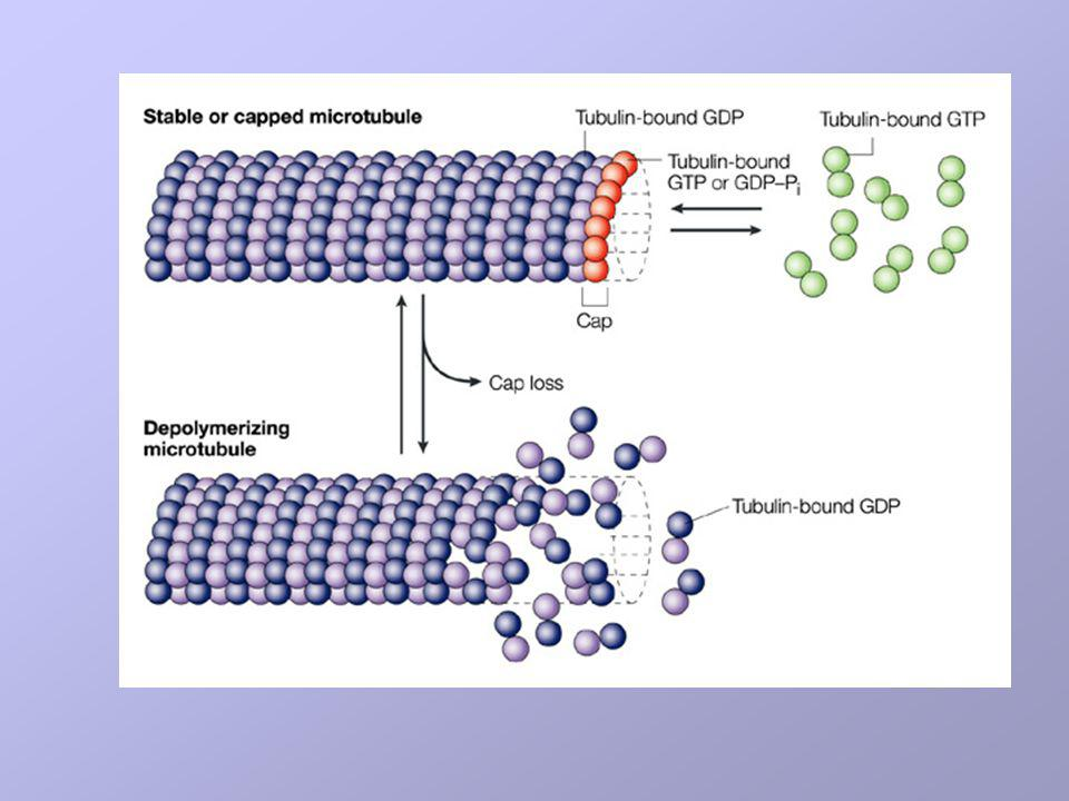 Tubulin-bound GTP is hydrolysed to tubulin–GDP and inorganic phosphate (Pi) at the time that tubulin adds to the microtubule ends, or shortly thereafter.