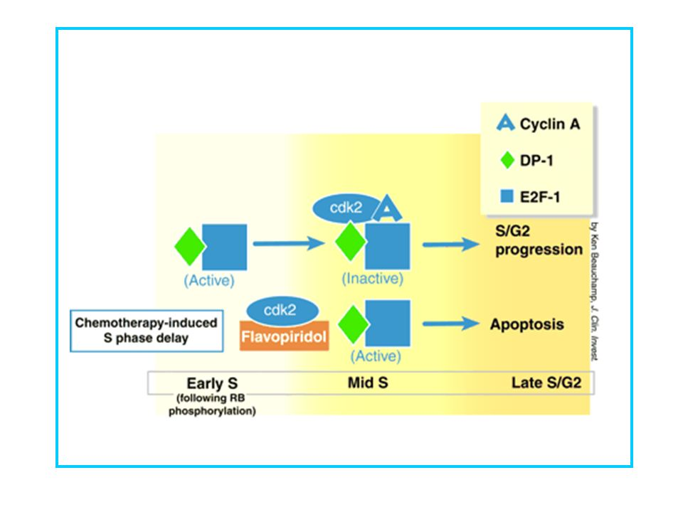 Transformed cells are sensitized to a cdk2 inhibitor during S phase