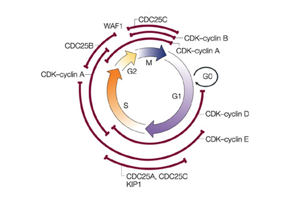 Roles of cyclin-dependent kinases