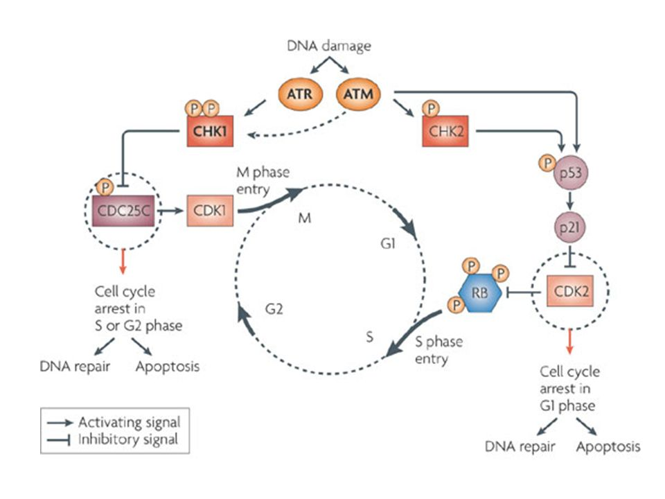 Induced or spontaneous DNA lesions are common events in the life of the cell. The ability of the cell to maintain homeostasis and protect itself from neoplastic transformation depends upon complex surveillance mechanisms and activation of repair pathways to preserve chromosomal integrity. The DNA damage checkpoint is a cardinal process. Genetic defects that perturb DNA repair mechanisms almost always cause severe diseases, including ataxia-telangiectasia and related syndromes, characterized by degeneration of the nervous and immune systems, sensitivity to ionizing radiation and DNA-damaging agents, and predisposition to cancer.