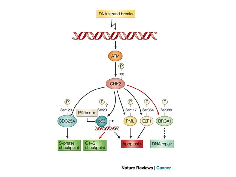 Functions and regulations of CHK2 in the mammalian DNA-damage-response network.