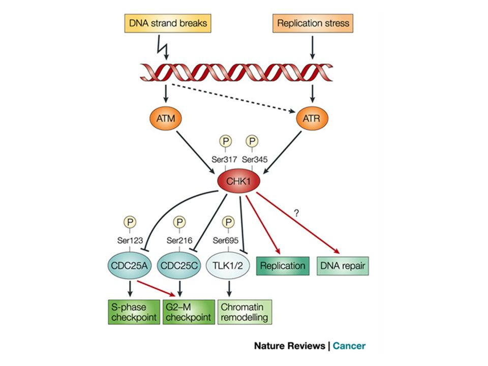 Functions and regulations of CHK1 in the mammalian DNA-damage-response network.