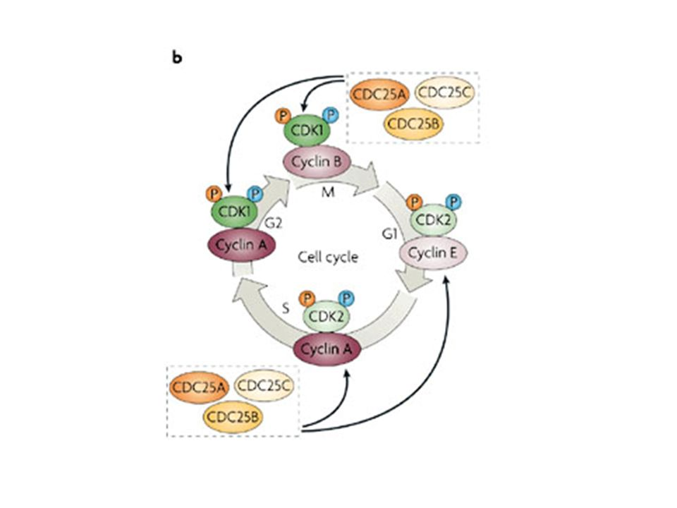 . b | Although initial studies suggested a specific role for each CDC25 phosphatase at defined stages of the cell cycle, the current model is that CDC25A, B and C are all involved in phosphorylating CDK–cyclin complexes, such as CDK2–cyclin E at the G1–S transition or CDK1–cyclin B at the entry into mitosis.