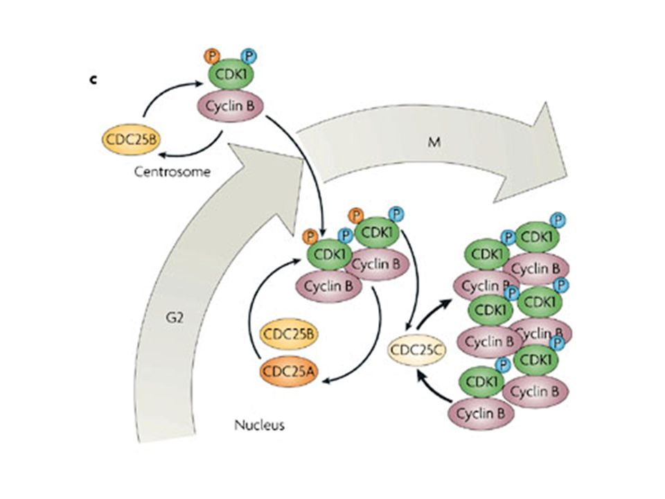 c | CDC25A, B and C control entry and progression into mitosis