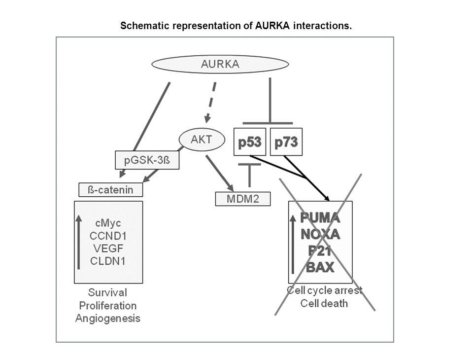 Schematic representation of AURKA interactions.