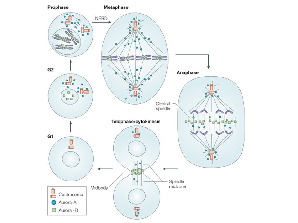 Figure 2 | Localization of Aurora-A and -B kinases during the cell cycle.