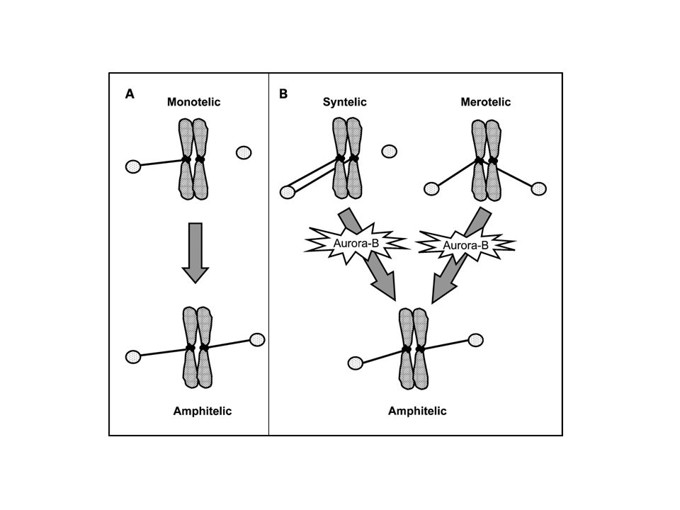 Aurora-B and the establishment of chromosome biorientation