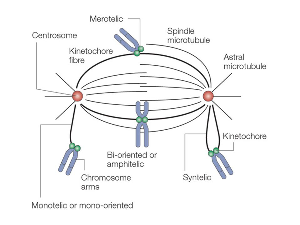 Figure 3 | Accurate chromosome segregation requires chromosome bi-orientation.