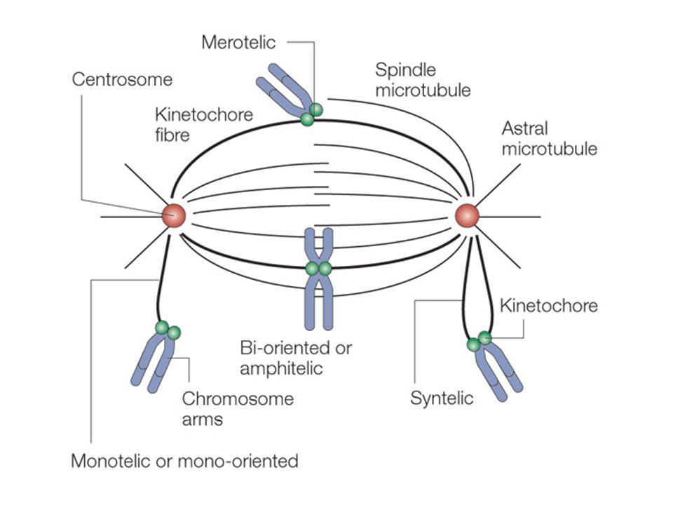 Figure 3 | Accurate chromosome segregation requires chromosome bi-orientation.