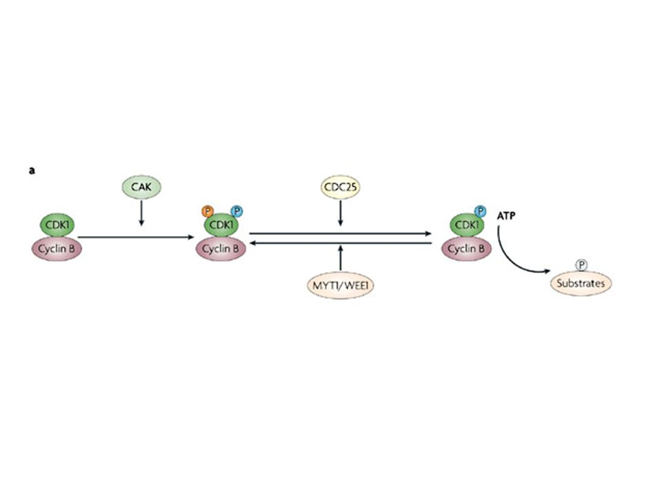 a | Cell division cycle 25 (CDC25) phosphatases dephosphorylate and activate cyclin-dependent kinase (CDK)–cyclin complexes, thus allowing catalysis and substrate phosphorylation.