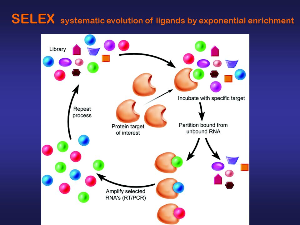 SELEX systematic evolution of ligands by exponential enrichment