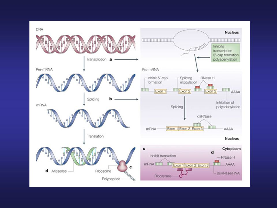 Mechanisms of antisense action on target genes