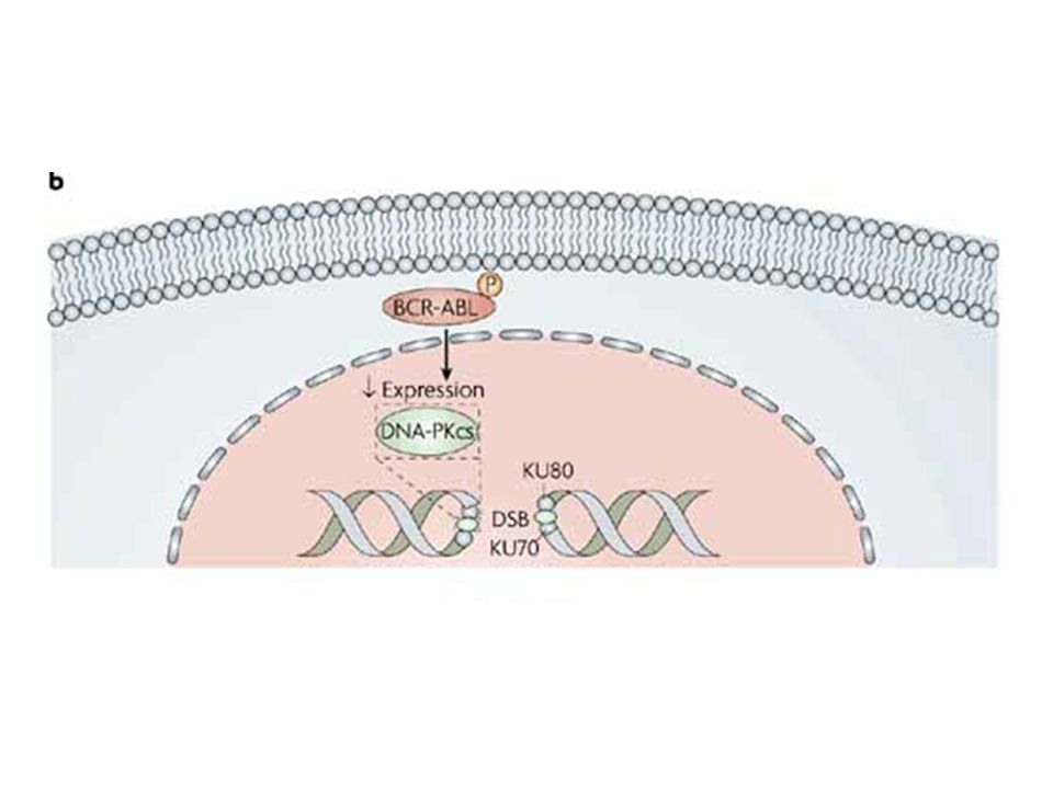 | BCR-ABL interferes with the repair of DNA double-strand breaks (DSBs) by inhibiting the expression of the catalytic subunit of DNA-dependent protein kinase (DNA-PKcs).