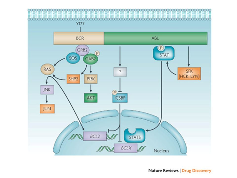 This highly simplified scheme illustrates some of the more important BCR–ABL signalling pathways.