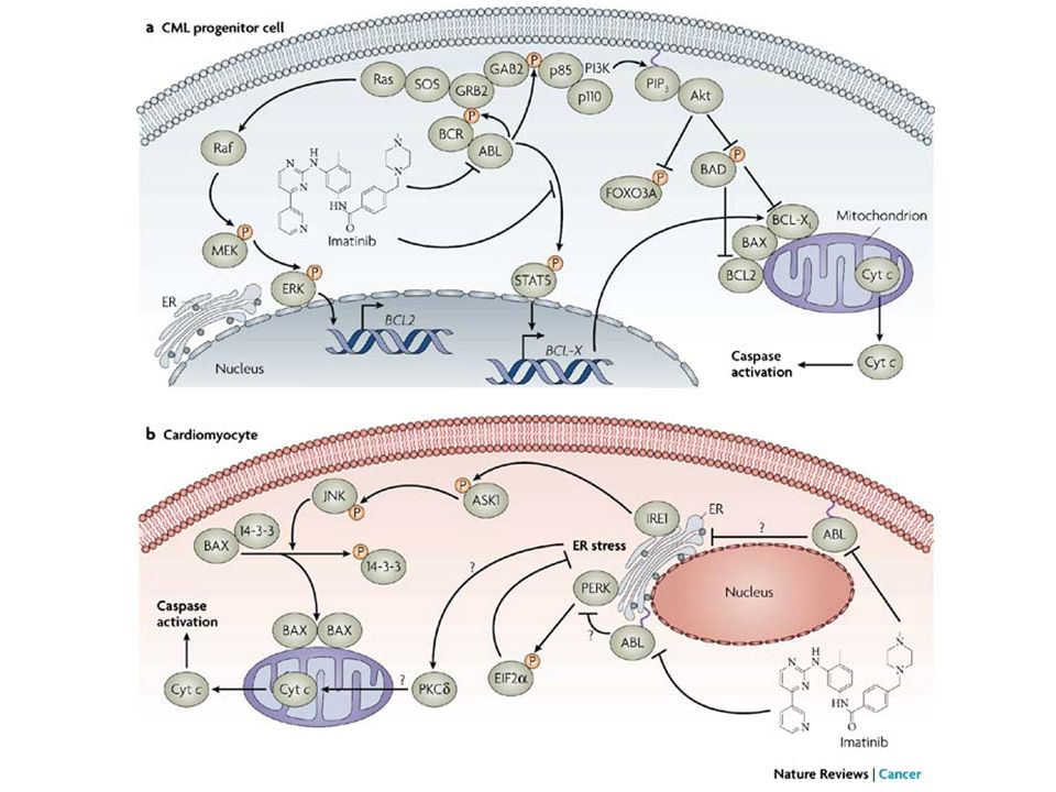 a | Constitutive signalling in chronic myeloid leukaemia (CML) progenitor cell, through the cytoplasmic BCR–ABL tyrosine kinase, leads to activation of Ras–ERK (extracellular signal-regulated kinase), phosphatidylinositol 3-kinase (PI3K)–Akt and signal transducer and activator of transcription 5 (STAT5) pathways.