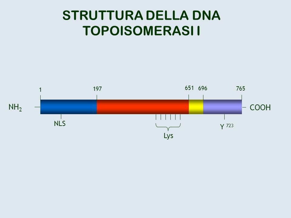 STRUTTURA DELLA DNA TOPOISOMERASI I