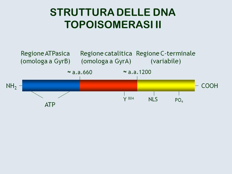 STRUTTURA DELLE DNA TOPOISOMERASI II